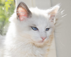 domestic long-haired cat, nose, animal, turkish van, white, khao manee, small to medium-sized cats, skin, pet, turkish angora, ragdoll, close-up, cat, carnivoran, whiskers, norwegian forest cat, balinese, birman, domestic short-haired cat,