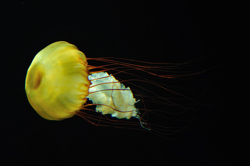 Jellyfish floating