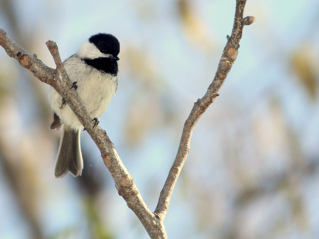 Black-capped  Chickadee 20110504