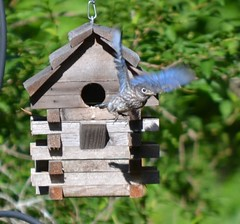 perching bird, birdhouse, bluebird,