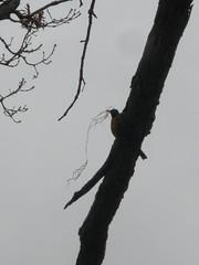 Robin Building a Nest