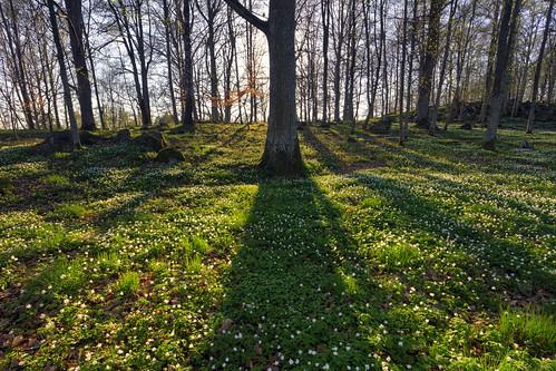 forest spring sweden sverige hdr anemonenemorosa östergötland woodanemone vitsippor sigma1020mmf456exdchsm bjärkasäby canoneos7d