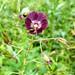 Geranium phaeum (Lis Allen)