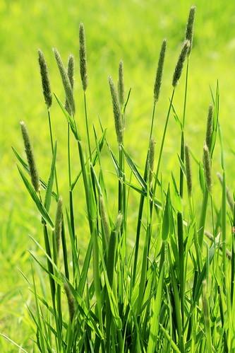 Meadow Foxtail 27197