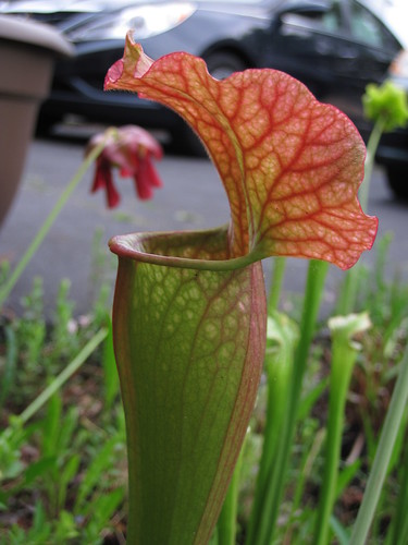 A gorgeous big pitcher