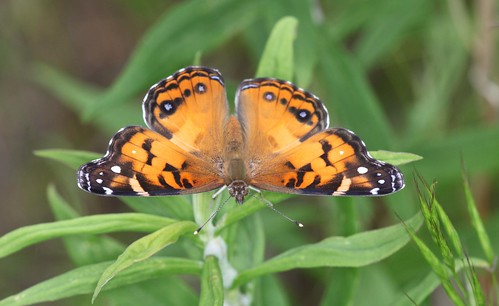 northcarolina richmondcounty vanessavirginiensis americanpaintedlady richmondcoutny