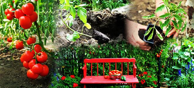 conseils pour planter des tomates. Black Bedroom Furniture Sets. Home Design Ideas