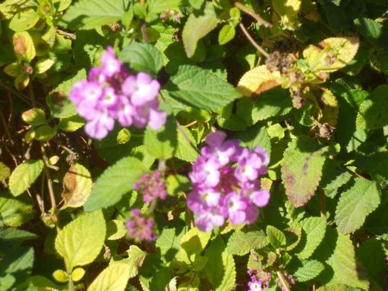 Lantana montevidensis 'Violet' 1