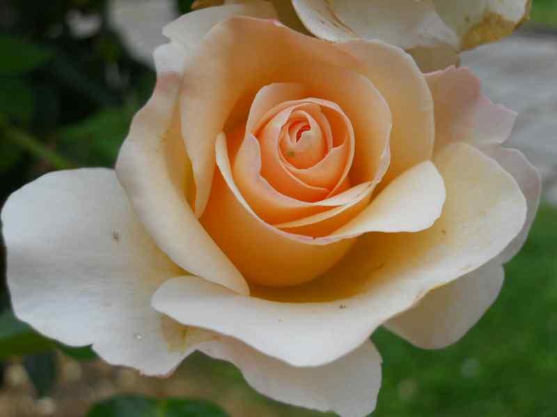 Rosa 'Pink Cloud' 2