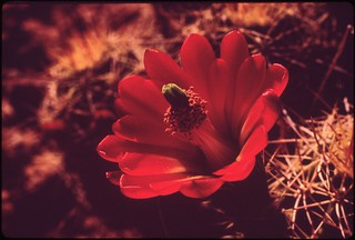 Barrel cactus in bloom. Hovenweep National Monument, 05/1972.