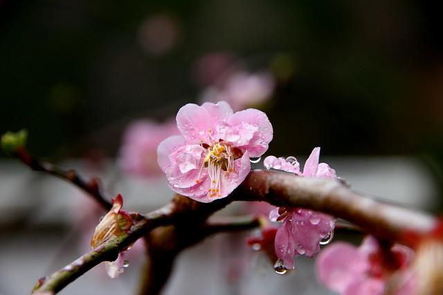 Hyotan Sakura_19