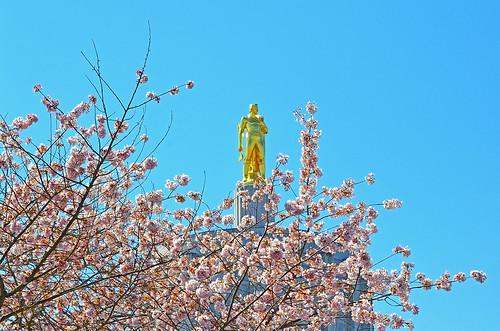 park city tree oregon cherry photography golden nikon capital blossoms marion valley april 桜 sakura salem blooms pioneer viewing hanami willamette 花見 willamettevalley salemoregon d7000 edmundgarman