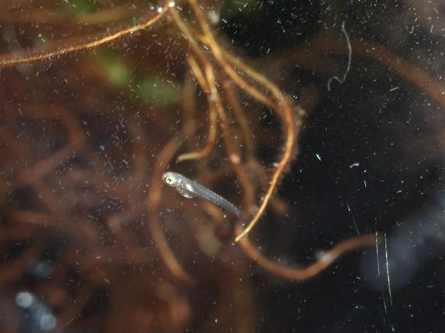 P4075817 女王燈幼魚