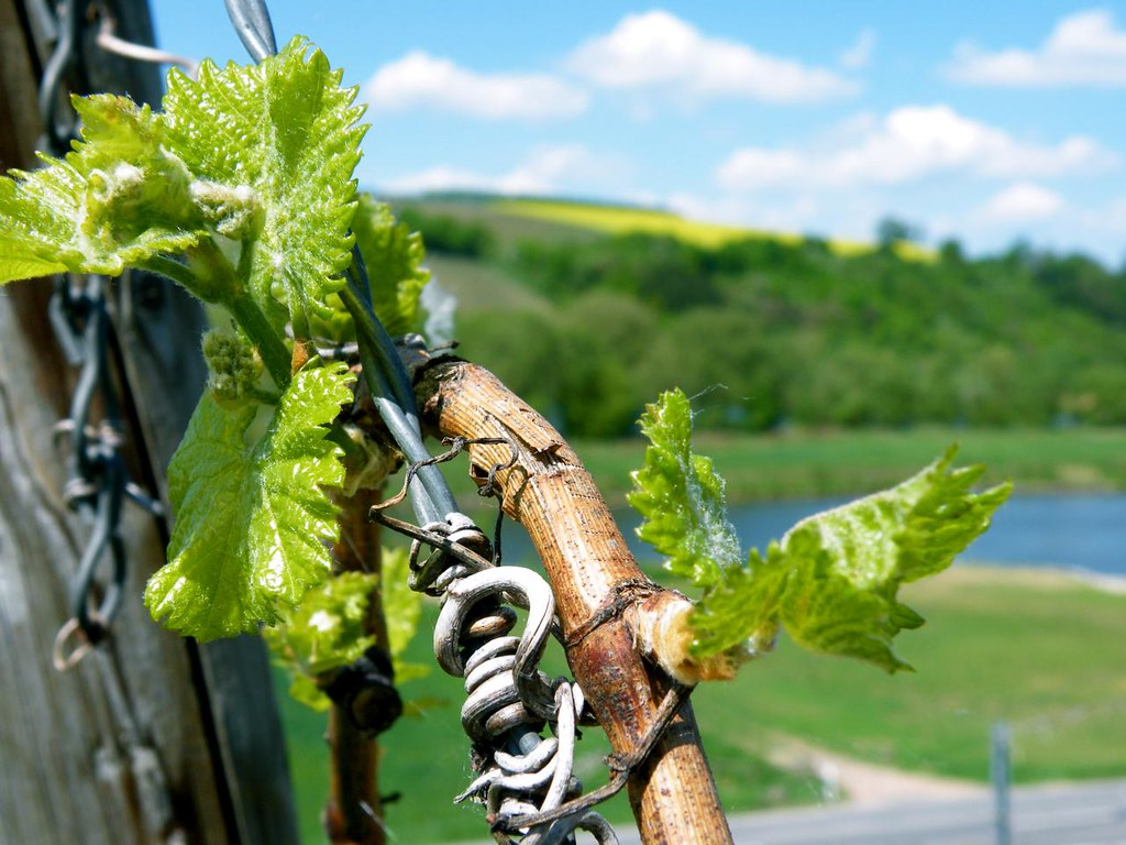 Budding Vines above the Main River in Franconia - Photo Alexander von Halem