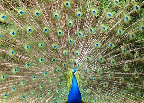 canon feathers peacock t3i plumage henrydoorleyzoo