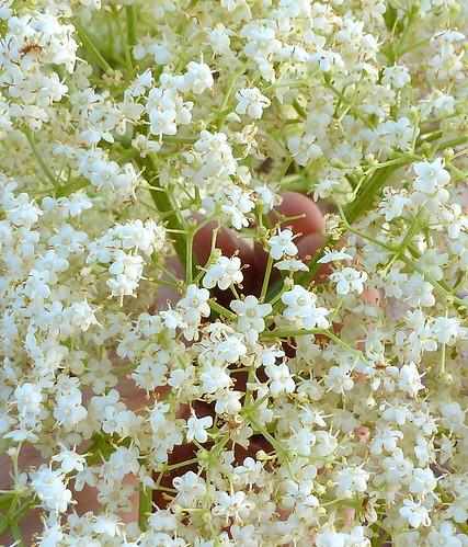 fiori di sambuco-elder flowers