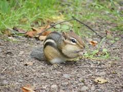 fox squirrel(0.0), pet(0.0), prairie dog(0.0), mouse(0.0), gerbil(0.0), animal(1.0), squirrel(1.0), rodent(1.0), nature(1.0), fauna(1.0), chipmunk(1.0), wildlife(1.0),