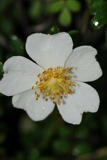 高山薔薇開花。攝影:曾彥學。