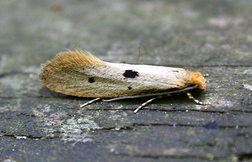 Tinea trinotella Tophill Low NR, East Yorkshire May 2014