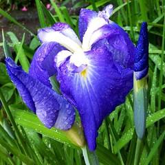 花菖蒲 #Japanese #iris #1000flowers @hana_no_namae