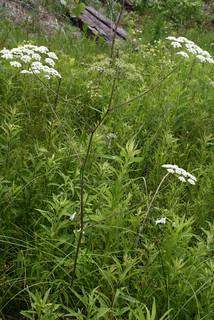 WaterHemlockplant