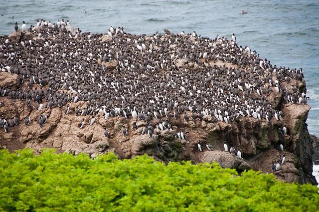 Common Murre colony