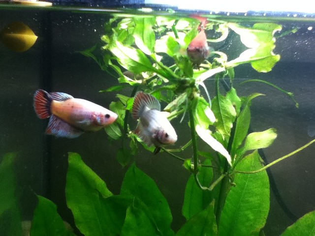 Female betta 39 s together flickr photo sharing for Betta fish together