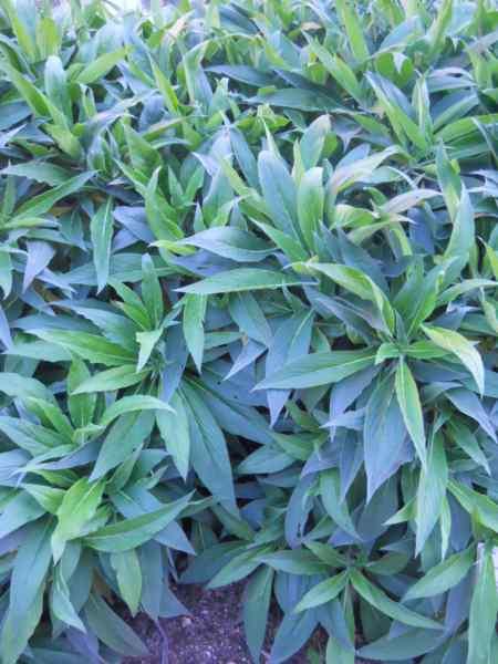 Echium acanthocarpum v 1