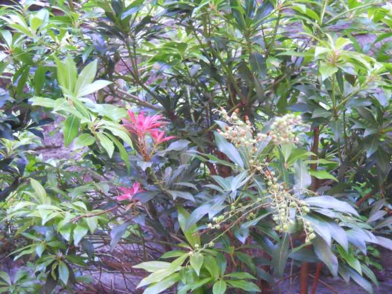 Pieris japonica 2