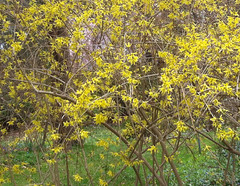 Forsythia at Long Hill Gardens by randubnick