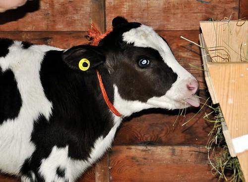 Baby bull calf