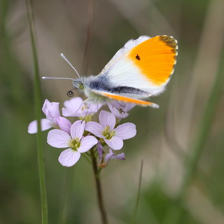 """Anthocharis cardamines"" - oranjetipje ( male )"