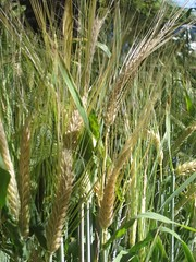 barley in april - 2