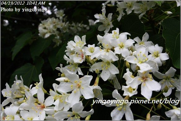 雲林古坑_賞桐20120419_I3272