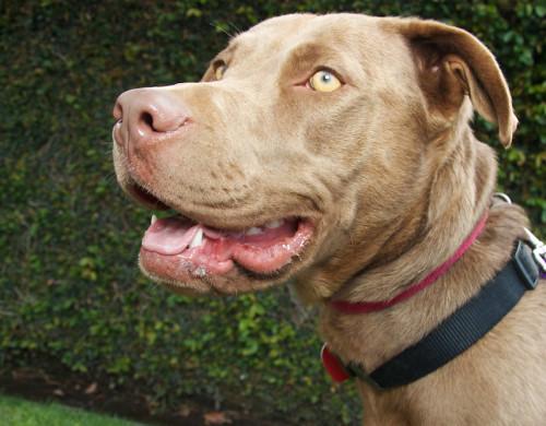 ... | Chocolate Labrador Retriever/Vizsla Mix | Flickr - Photo Sharing