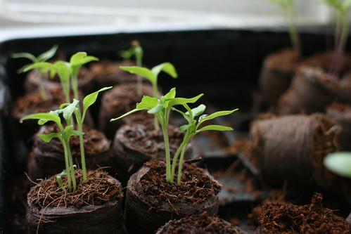 Eggplant to-be