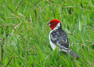 Red-cowled Cardinal (Cardeal-do-nordeste)