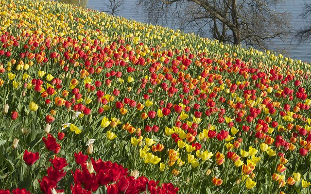blumen insel mainau tulips and water