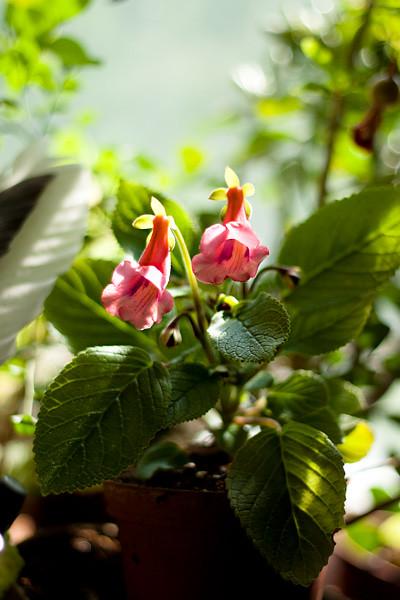 "Sinningia ""Pink Eumorpha"""