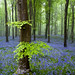 Beeches and Bluebells by Tony Gill
