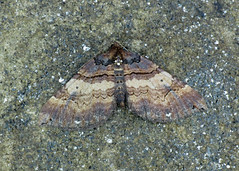 1746 Shoulder-stripe - Anticlea badiata