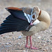 "Egyptian Goose by ""Clare"""
