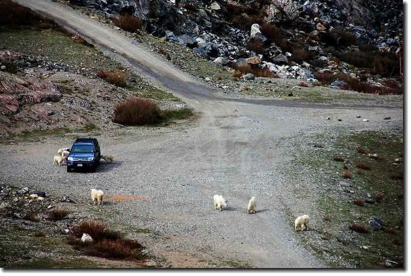 Mountain goats 12