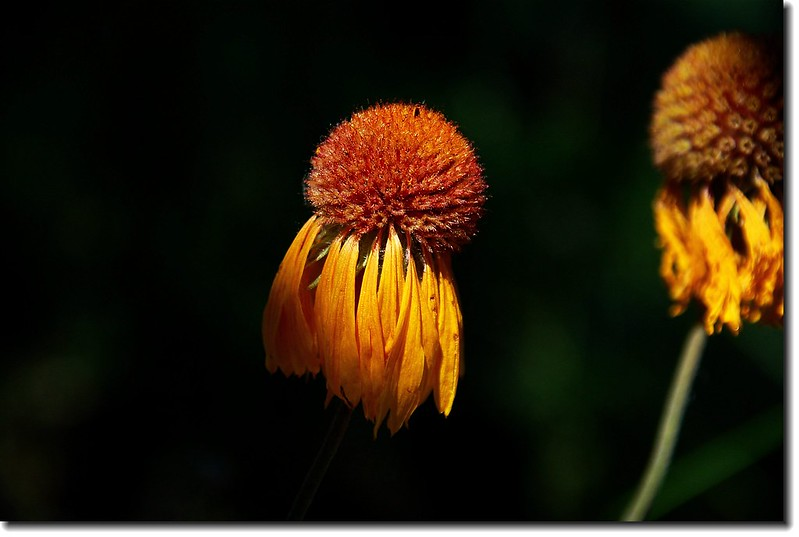 Tall Coneflower(Cutleaf Coneflower) 1