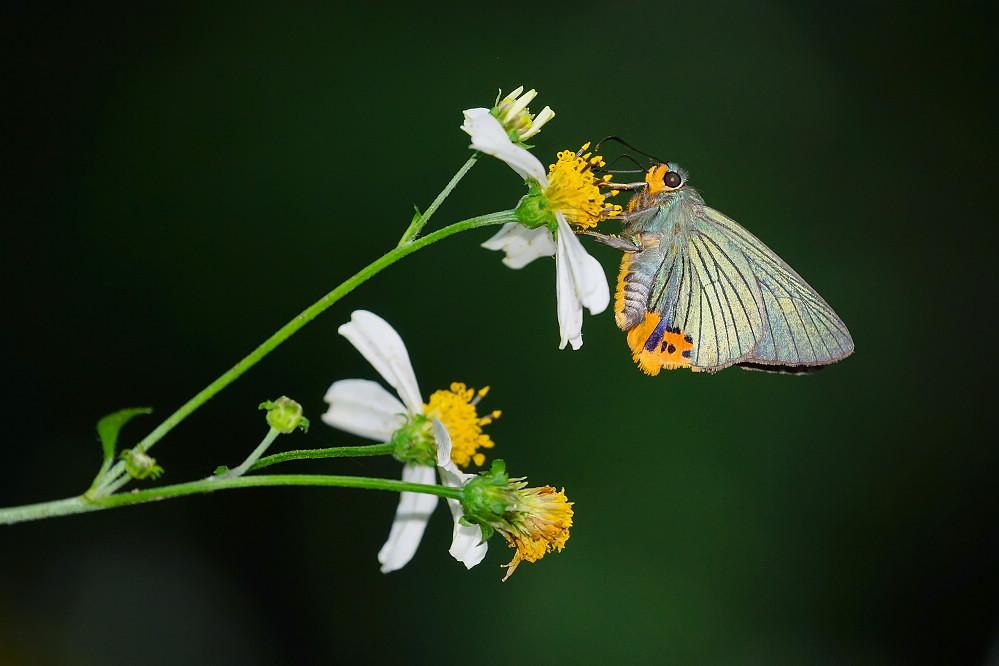 綠弄蝶屬綠弄蝶14S103