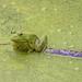 American Bullfrog in Camouflage by sierrasylvan