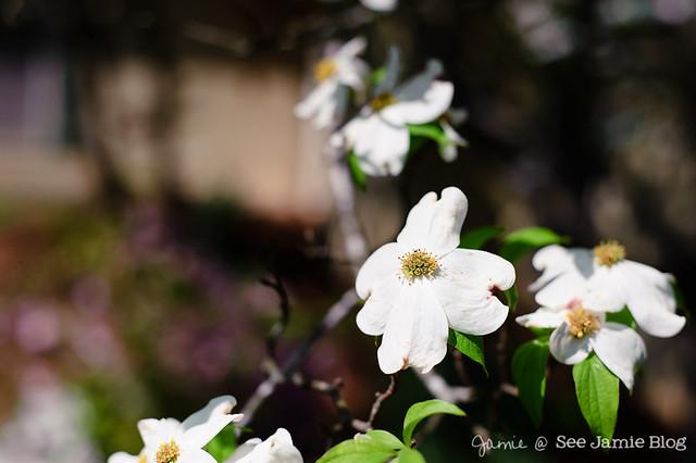Dogwood Blooms April 2012