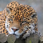Jaguar 0412 6365a - Ross Elliot