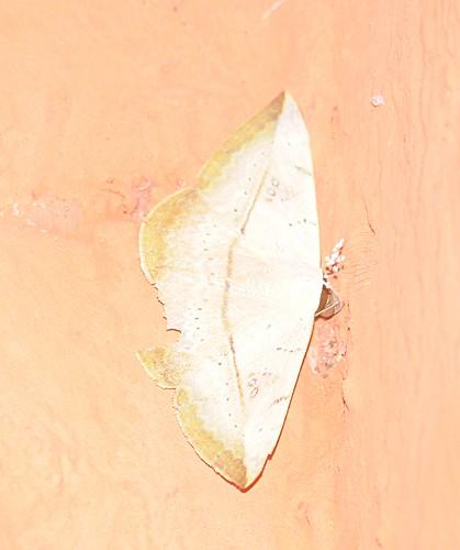 dead leaf moth - Hypopyra vespertilio?