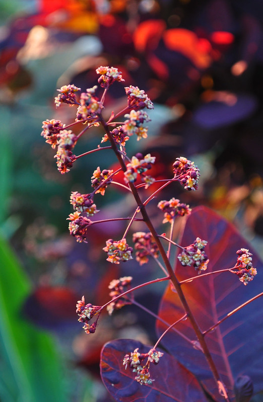 Cotinus coggygria 'Royal Purple' (2)